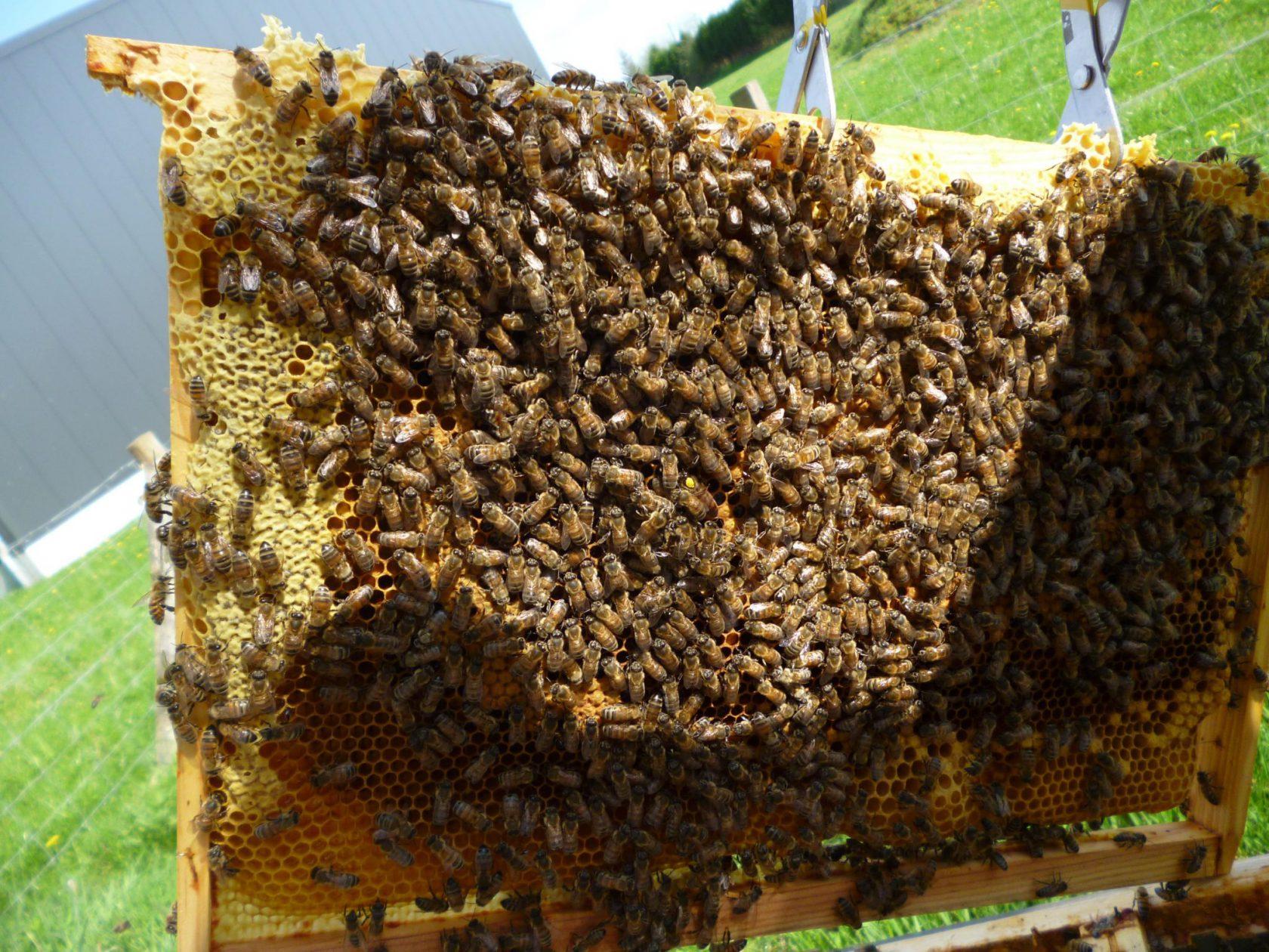 Première récolte de miel à la maison Canler
